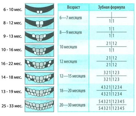 Схема прорезивания молочных зубов.  Впрочем, родителям нужно следить не только за количеством прорезанных а и за...